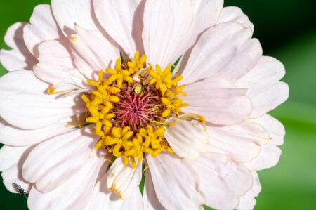 Zinnia is a genus of sunflower plants in the daisy family. They come from shrubs and dry pastures in an area that extends from the southwestern United States to South America. 写真素材