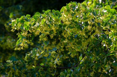 Blooming linden gathers in June - July, during flowering. Traditional medicine has long used linden flowers for colds, fever, flu, and bronchitis. 写真素材