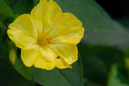 Mirabilis jalapa, the miracle of Peru or a four-hour flower, wonderful in Latin, and Jalapa - the capital of the state of Veracruz in Mexico City. grown by the Aztecs for medicinal purposes