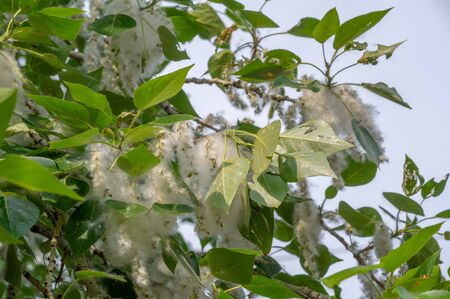 Poplar fluff is not to blame for allergies; it's more a nuisance than a health hazard. He is going to snow drifts. An ideal urban tree, it absorbed four times more carbon dioxide than other species Stock Photo