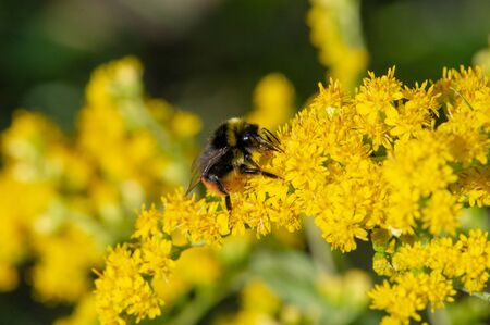 Solidago, commonly called goldenrod, Most of them are herbaceous perennial species found in open areas such as meadows, prairies and savannahs. They are mainly from North America, including Mexico Archivio Fotografico