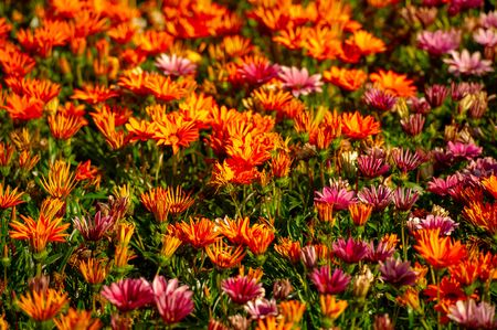 Gazania is a genus of flowering plants of the family Asteraceae that grow in southern Africa They produce large daisy-like composite flower heads in bright yellow and orange over a long summer period Stock fotó