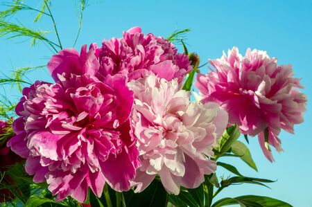 The peony or paeony They come from Asia, Europe and Western North America. They are one of the most popular garden plants in temperate regions. they are also sold as cut flowers on a large scale,