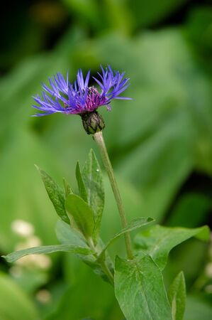 Centaurea Members of the genus are found only north of the equator; The Middle East is especially rich in species. In the western United States, yellow whistles are an invasive species.