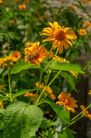 Rudbeckia They are all from North America, and many species are grown in gardens because of their spectacular yellow or gold flower heads that bloom in mid or late summer. Stock fotó
