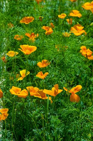 Eschscholzia The genus was named after the Baltic-German-Imperial Russian botanist Johann Friedrich von Eschscholz (1793-1831). All species come from Mexico or the southern United States.