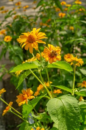 Rudbeckia They are all from North America, and many species are grown in gardens because of their spectacular yellow or gold flower heads that bloom in mid or late summer.