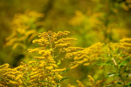 Solidago, commonly called goldenrod, Most of them are herbaceous perennial species found in open areas such as meadows, prairies and savannahs. They are mainly from North America, including Mexico