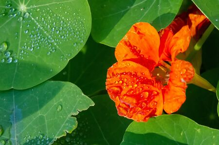 Nasturtium This popular climbing vine has bright yellow, orange and red flowers. They say that the juice of leaves and flowers prevents hair loss. It blooms from July until the first frost.