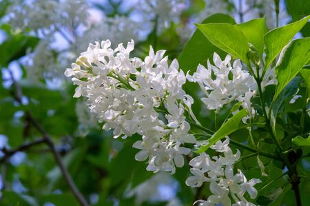 Lilac a Eurasian shrub or small tree of the olive family, that has fragrant violet, pink, or white blossoms and is widely cultivated as an ornamental.