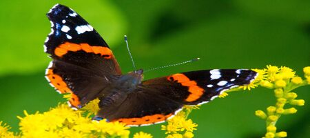 Solidago, commonly called goldenrods, used in a traditional kidney tonic by practitioners of herbal medicine to counter inflammation. butterfly Vanessa atalanta, the red admiral Stock Photo