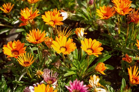 Gazania is a genus of flowering plants of the family Asteraceae that grow in southern Africa They produce large daisy-like composite flower heads in bright yellow and orange over a long summer period