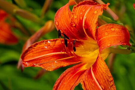 Lilium lancifolium - growing in China, Japan, Korea and the Far East of Russia. ornamental plant of orange-black flowers, which has become naturalized in many scattered places in eastern North America Stockfoto