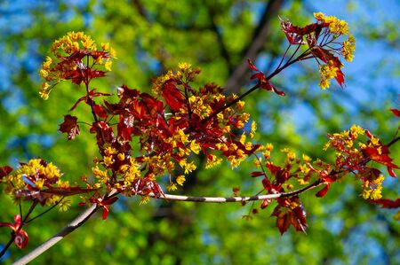 Maple flowers are green, yellow, orange or red. Some maples are a source of pollen and nectar in early spring for bees.