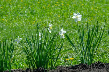 Narcissus is a perennial spring plant of the amaryllis family. The daffodil has conspicuous flowers with six petal petals crowned with a cup or tubular crown The flowers are usually white or yellow