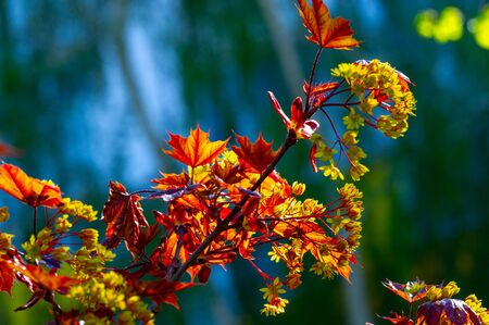 Maple flowers are green, yellow, orange or red. Some maples are a source of pollen and nectar in early spring for bees. 写真素材