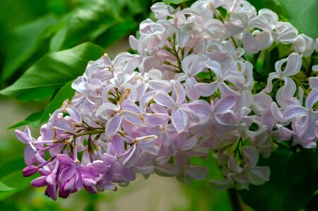 Syringa lilac is a flowering tree of the olive family Oleaceae, which grows in forests and shrubs from southeastern Europe to eastern Asia and is widely cultivated in temperate regions elsewhere