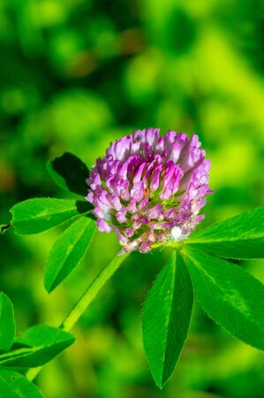 Clovers or shamrocks of many species are found in South America and Africa, with heads or thick spikes of small red, purple, white or yellow alfalfa or Calvary clover.