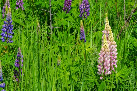 Lupinus, commonly known as lupin or lupine, is a genus of flowering plants in the legume family Fabaceae. with diversity centers in the Americas. They are widely cultivated as a food source. Banco de Imagens