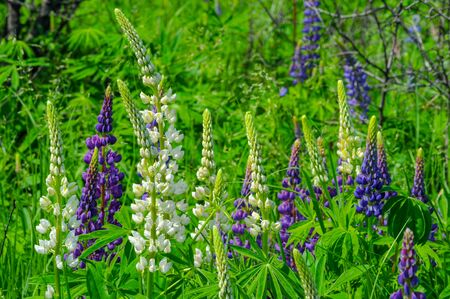 Lupinus, commonly known as lupin or lupine, is a genus of flowering plants in the legume family Fabaceae. with diversity centers in the Americas. They are widely cultivated as a food source.