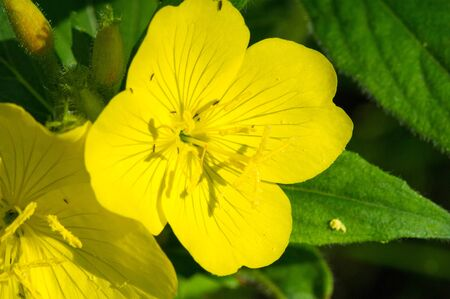 Oenothera may have originated in Mexico and Central America. Some Oenothera plants have edible parts. The roots of O. biennis are reported to be edible in young plants.