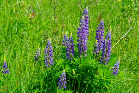 Lupinus, commonly known as lupin or lupine, is a genus of flowering plants in the legume family Fabaceae. with diversity centers in the Americas. They are widely cultivated as a food source. 写真素材