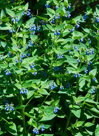 Symphytum is originally from flowering plants in the borage family, Boraginaceae. known collectively comfrey. Some species and hybrids, in particular S. officinale and S. × uplandicum Stock Photo