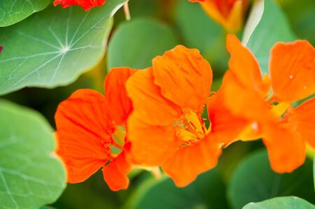 """Tropaeolum, commonly known as nasturtiums literally """"nose twister"""" native of South and Central America, The flowers are and zygomorphic,"""