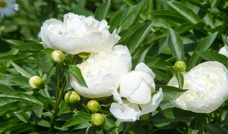 peonies a herbaceous or shrubby plant of north temperate regions, which has long been cultivated for its showy flowers.