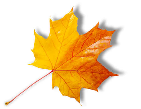 Autumn sketch with maple leaves, yellow red orange colors of leaves, photograph isolated on white background