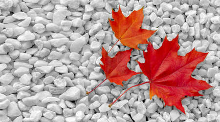 Autumn maple leaf, a flattened structure of a higher plant, similar to a blade that attaches directly to the stem or through the stem. Leaves are the main organs of photosynthesis and transpiration