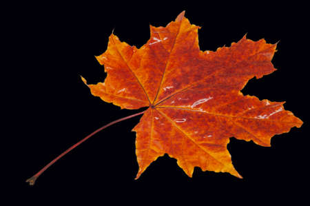 Autumn maple leaf, a flattened structure of a higher plant, similar to a blade that attaches directly to the stem or through the stem. Leaves are the main organs of photosynthesis and transpiration Stok Fotoğraf