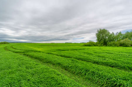Spring photography, landscape with a cloudy sky. Young wheat, green sprouts, cereals, as well as its grains, from which white flour is prepared