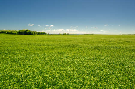 summer landscape, green cereals on cultivated fields, wheat, oats, barley, rye grow on a huge field, a walk along the European part of the earth Stockfoto