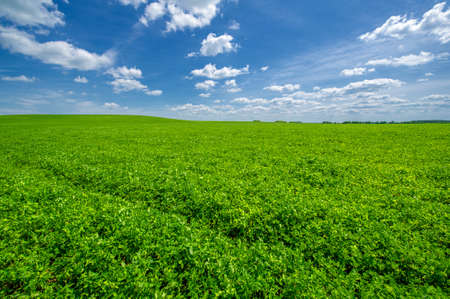 Summer landscape, growing fodder crops of green clover of alfalfa in cultivated fields, rocking plants in the wind