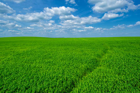 Summer landscape, Green wheat cereal crops growing in cultivated field, plants swaying in the wind Banco de Imagens