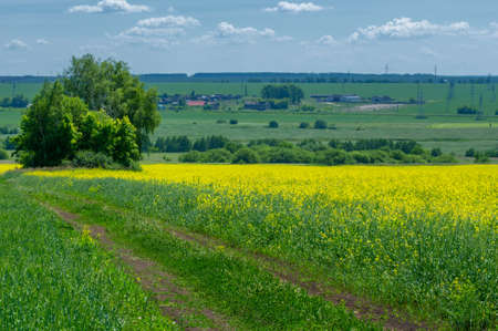 Rapeseed (Brassica napus subsp. Napus) with bright yellow flowering, cultivated thanks to oil-rich seeds, canola is an important source of vegetable oil and a source of protein flour.