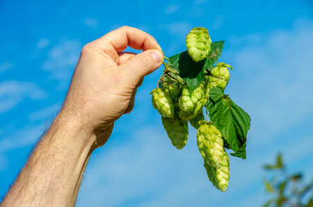 hops, a perennial or annual climbing plant with a long thin stem, as well as the seeds of this plant, a pot. in brewing.