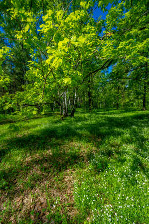 Photo spring, pine, birch, mixed forest, forest road after the rain, wildflowers