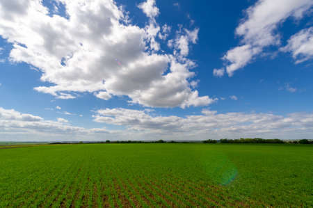 Spring photography, cereal seedlings in a green joyful field, grain used for food, for example, wheat, oats or corn. blue sky in white fluffy clouds