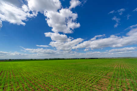 Spring photography, cereal seedlings in a green joyful field, grain used for food, for example, wheat, oats or corn. blue sky in white fluffy clouds Stockfoto