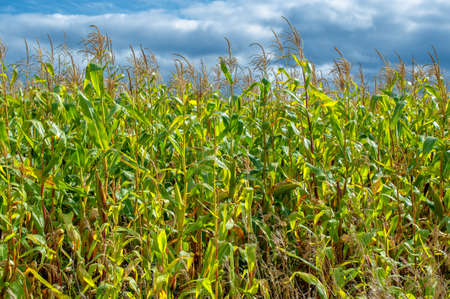Corn a North American cereal plant that yields large grains, or kernels, set in rows on a cob. Its many varieties yield numerous products, highly valued for both human and livestock consumption.