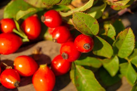 blurry photo, shallow depth of field. Rose hips contain a large amount of antioxidants, mainly polyphenols and ascorbic acid, as well as carotenoids and vitamins B and E. Standard-Bild