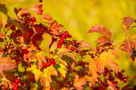 blurry photo, shallow depth of field. Autumn red viburnum, Its modern classification is based on molecular phylogeny. It was previously included in the Honeysuckle family Caprifoliaceae. Stock Photo