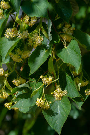 Linden flowers, Deliciously fragrant linden trees perfume the air in early summer, beckoning us to come and enjoy their beneficial properties for body, mind, and spirit.