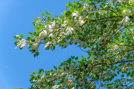 Poplar fluff is not to blame for allergies; it's more a nuisance than a health hazard. He is going to snow drifts. An ideal urban tree, it absorbed four times more carbon dioxide than other species Banco de Imagens