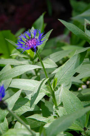 Centaurea Members of the genus are found only north of the equator; The Middle East is especially rich in species. In the western United States, yellow whistles are an invasive species. Banque d'images
