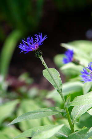 Centaurea Members of the genus are found only north of the equator; The Middle East is especially rich in species. In the western United States, yellow whistles are an invasive species. Stock fotó
