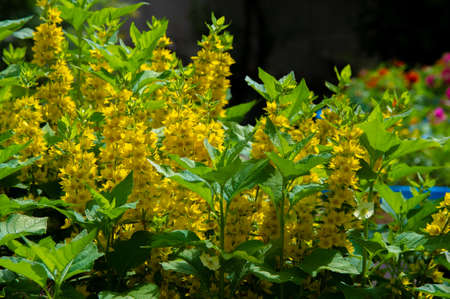 Lysimachia often have yellow flowers and grow vigorously. The clan is named after Lysimachus, the king of ancient Sicily who is said to have reassured the mad bull by feeding him a member of the clan