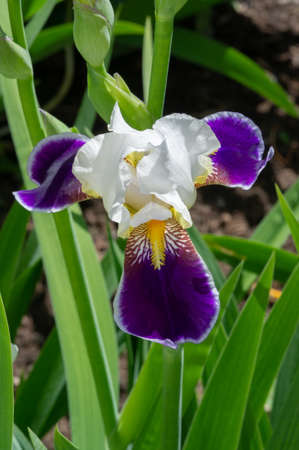 Iris Deservedly popular, it has delicate petals, slightly fragrant flowers with spectacular disheveled petals in May and June and fans of gray-green leaves in the shape of a sword.
